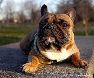 bulldog-frances_interna