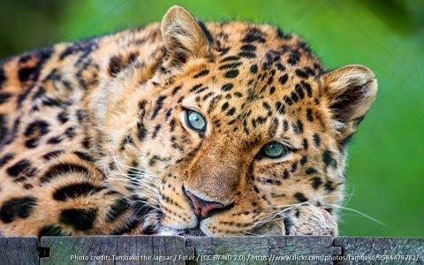 curiosidade-leopardo