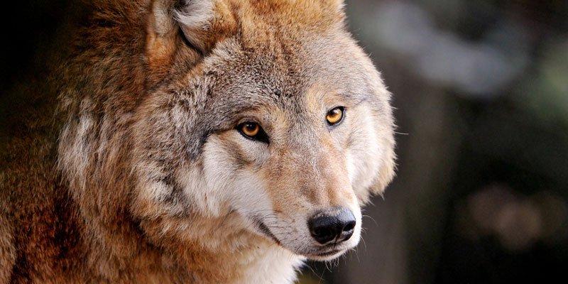 Pierre Lonno - Página 6 Heran%C3%A7a-dos-lobos