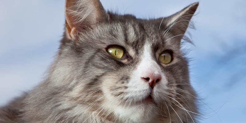 gatos-idosos