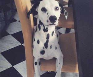 cão_cidadão