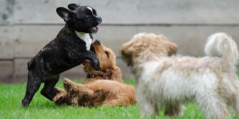 Filhotes de cachorro como sociabilizar