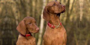 É possível adestrar mais de um cachorro ao mesmo tempo?