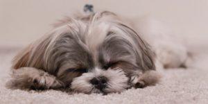 Cachorro que fica sozinho: saiba o que fazer e o que evitar