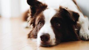 Como ensinar o seu cachorro a fazer xixi e cocô no tapete higiênico
