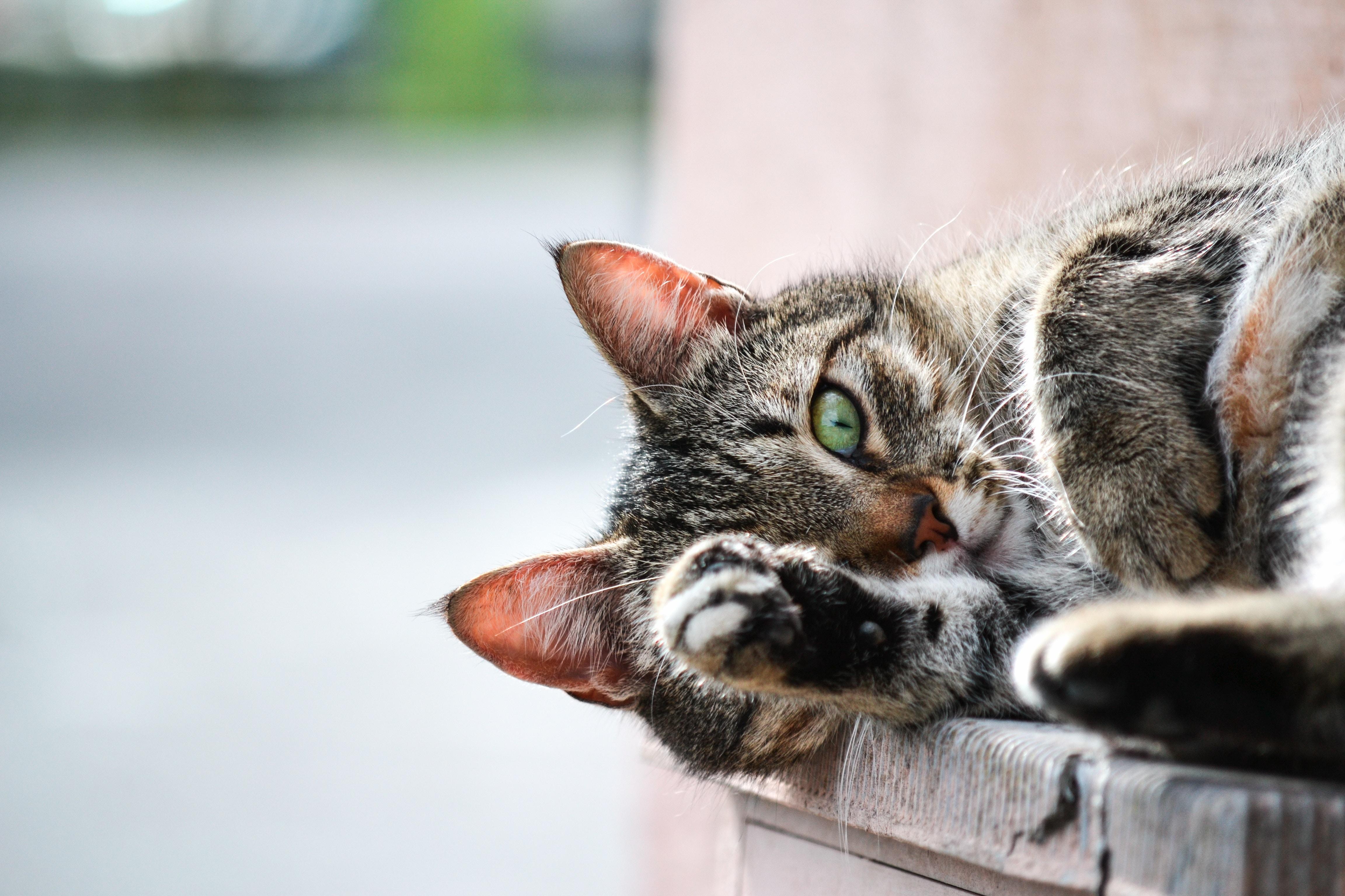 Gatos: quais são os fatos mais curiosos sobre os felinos?