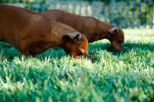 por-que-cachorros-comem-grama